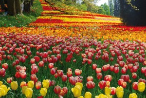 A sea of tulips