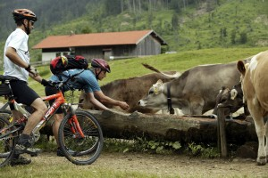 A cyclist and cows