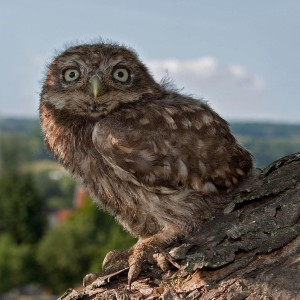 Juvenile little owl in a tree