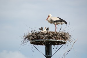 White stork on a nesting aid