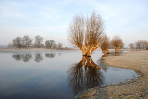 A pollarded willow reflected in the Elbe in flood