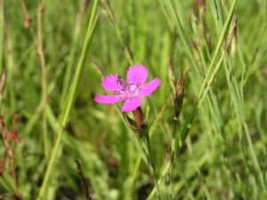Flowering maiden pinks in the dry grassland of the Elbe Valley dunes