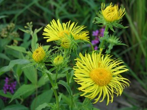 Yellow flowers of the meadow fleabane, a riverside plant, in the Elbe Riverside Biosphere Reserve