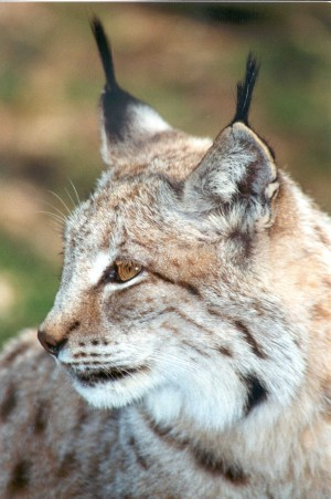 Palatinate Forest – lynx