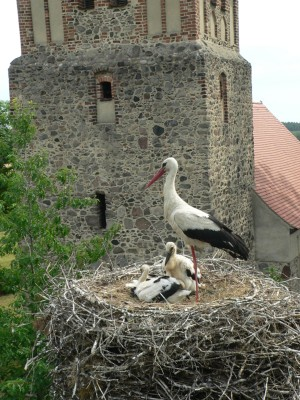 White stork's nest with three young and one parent bird; church tower in the background