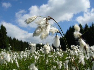 Narrow-leaved cotton grass
