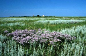 Salt marsh in bloom on Neuwerk Island
