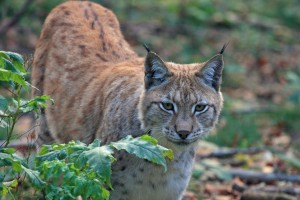 The lynx, the tallest european cat species
