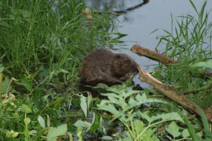 Elbe beaver sitting eating on the river Uecker