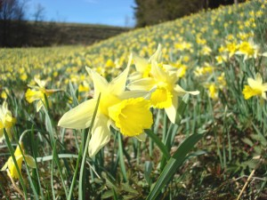 Daffodils in bloom in the Eifel