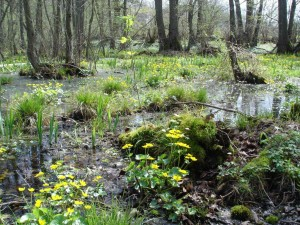 Alders in shallow water with marsh marigolds in bloom
