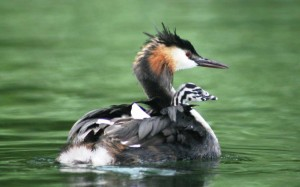 Great crested grebe transporting its chick on its back