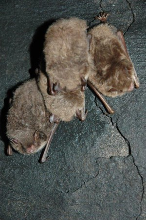 Daubenton's bats on the walls of caves in Kalkberg hill, Bad Segeberg