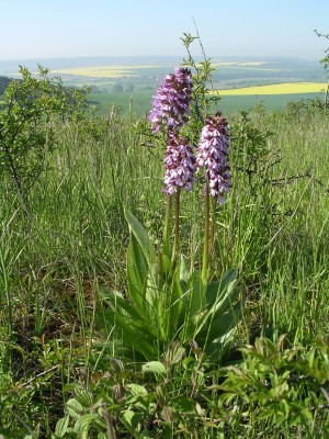 Early purple orchids in the Saale-Unstrut-Triasland Geo Nature Park