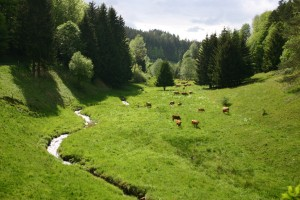 Franconian Gelbvieh cattle grazing in a lush meadow valley on the banks of the Steinbach river