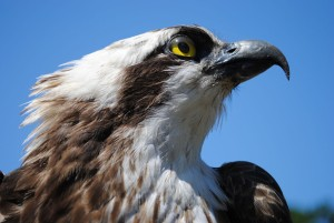 Together with neighbouring Uckermark Lakes Nature Park, Stechlin-Ruppinerland Nature Park has the highest density of breeding ospreys in central Europe.