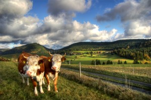 Black Forest scene with two cows by the wayside and a village in the background