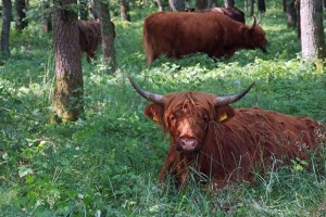 Highland cattle 'managing' the countryside for the Senne Heathland and Teutoburg Forest nature conservation project