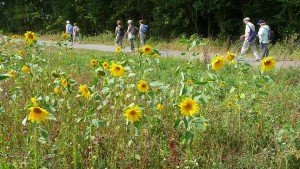 Pilgrims walking along fields of blooming sunflowers