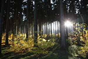 In a fir forest bathed in light