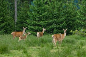 Deer sighting on the Rennsteig Trail