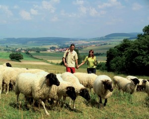 Thuringia, walkers with Rhön sheep