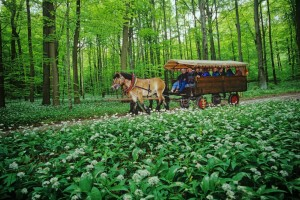 Covered-wagon rides in Hainich National Park