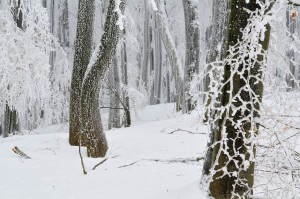 Winter scene in Hainich National Park