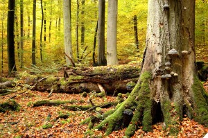 Germany's Ancient Beech Forests